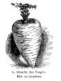 Carotte blanche des Vosges Vilmorin-Andrieux 1904.png