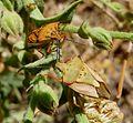 Carpocoris mediterraneus.^ Pair - Flickr - gailhampshire.jpg