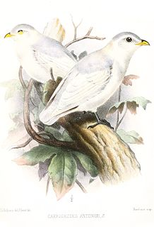 Yellow-billed cotinga species of bird