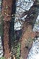 Carvalho-roble situado no lugar da Carvalheira, Guimarei - 19.jpg
