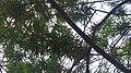 Cascabela thevetia (Karen) in Rajkot.jpg