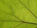 Catalpa sp, leaf veins 03.jpg