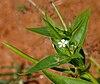 Catharanthus pusillus (Tiny Periwinkle) W IMG 3208