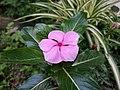 Catharanthus roseus, pink periwinkle flower.jpg
