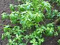 Catharanthus roseus (DITSL).JPG