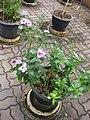 Catharanthus roseus (Gardenology.org-IMG 7926).jpg