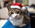 Cats wearing Christmas decoration; December 2019 (01).jpg