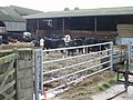Cattle at Bonnington Farm, Goodnestone - geograph.org.uk - 641610.jpg