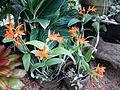Cattleya aurantiacajf9273 01.JPG