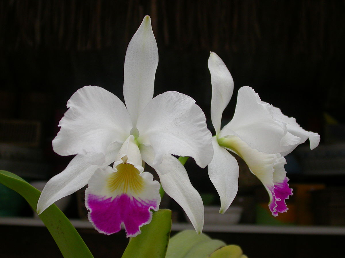 Cattleya warneri wikipedia for Orchidea cattleya