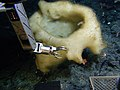 Cauldron sponge.jpg