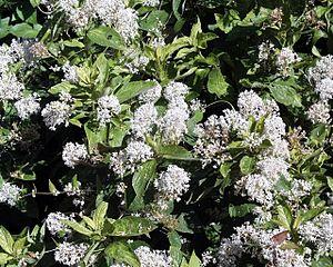 Ceanothus - Ceanothus americanus flowers