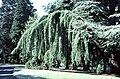 Cedars, National Botanic Gardens, Glasnevin - geograph.org.uk - 66253.jpg