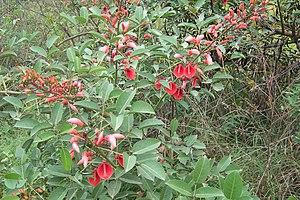Flora of Uruguay - Ceibo (Erythrina crista-galli),