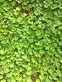 Centella asiatica commonly known as centella Asiatic pennywort or Hydrocotyla asiatica or Gotu kola or Manduka bharani.jpg