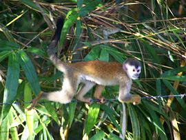 Central American Squirrel Monkey 2.jpeg