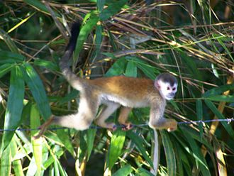 Central American squirrel monkey - Body coloration