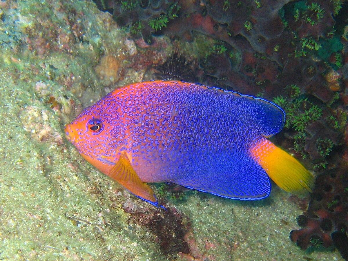 Japanese angelfish - Wikipedia
