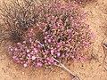 Cephalophyllum alstonii PICT2723.jpg