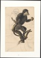 Cephalopterus ursinus - 1749-1842 - Print - Iconographia Zoologica - Special Collections University of Amsterdam - UBA01 IZA1000059.tif