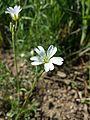 Cerastium arvense subsp. arvense sl1.jpg