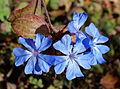 Ceratostigma willmottianum - Quarryhill Botanical Garden - DSC03382.JPG