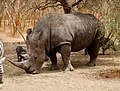 Ceratotherium simum (Rhinocerotidae) (49332850298).jpg