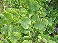 Cercis siliquastrum - leaves.jpg