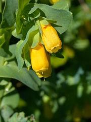 Voskovka holá tatranská (Cerinthe glabra subsp. tatrica)
