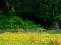Cervo-do-pantanal (Blastocerus dichotomus 2).jpg