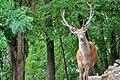 Cervo nobile (Cervus elaphus) - Red deer , Gerenzano, Italia, 08.2018 (2).jpg