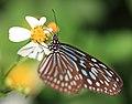 Ceylon Blue Glassy Tiger - Ideopsis similis - 琉球浅葱斑(リュウキュウアサギマダラ) (8905806943).jpg