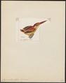 Ceyx rubra - 1820-1863 - Print - Iconographia Zoologica - Special Collections University of Amsterdam - UBA01 IZ16800099.tif