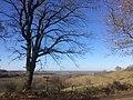 Chêne sur les coteaux de Pamiers.jpg