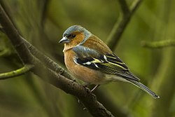 Chaffinch - Italy S4E3792 (23051118261).jpg