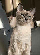 Tonkinese cat - Wikipedia