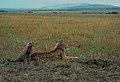 Cheetah01(js).jpg