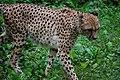 Cheetah (7612950340).jpg