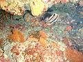 Chelmonops curiosus Western talma PC068992.JPG