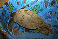Chelonia mydas rescued at Kennedy Space Center.jpg