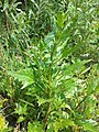 Chenopodium rubrum (s. str.) sl38.jpg