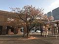 "Cherry Blossoms ""Seichozakura"" in front of Nishitetsu-Kashii Station 6.jpg"