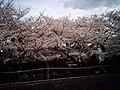 Cherry blossom near Zenpukuji river, Tokyo; July 2006 (10).jpg