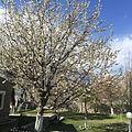 Cherry blossom skardu.JPG