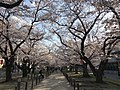 Cherry blossoms near Zasshonokuma Station 20190401-8.jpg