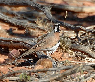 Chestnut-breasted quail-thrush - Image: Chestnut breasted Quail thrush bowr apr 07