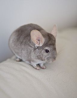 Chinchilla by Justin Qian caring for chinchillas
