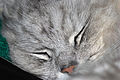 Chinchilla cat (3455806207).jpg