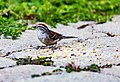 Chipping Sparrow (43822776651).jpg