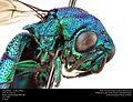 Chrysididae - Cuckoo Wasp (24413192749).jpg